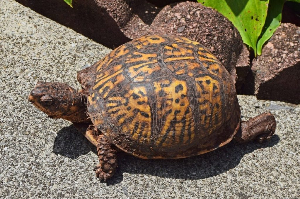 do box turtles bite