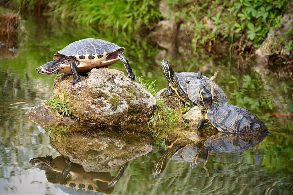 types of pond turtles