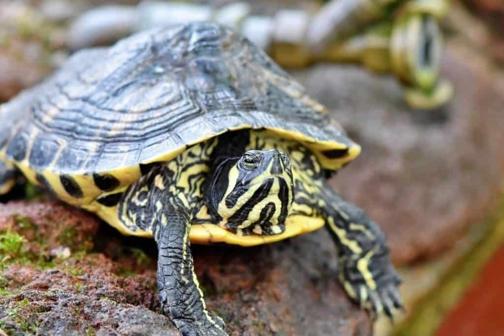 baby yellow belly turtle care