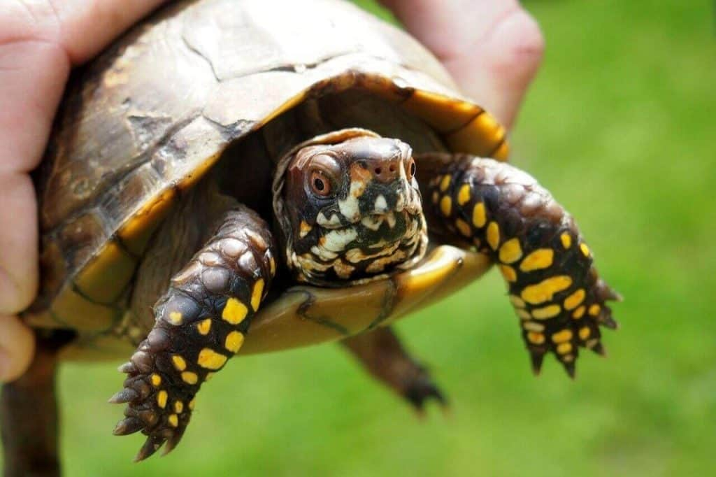 how long do pet turtles live