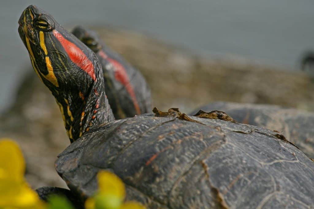 do red eared sliders hibernate