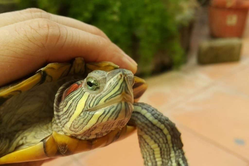 do red eared sliders bite