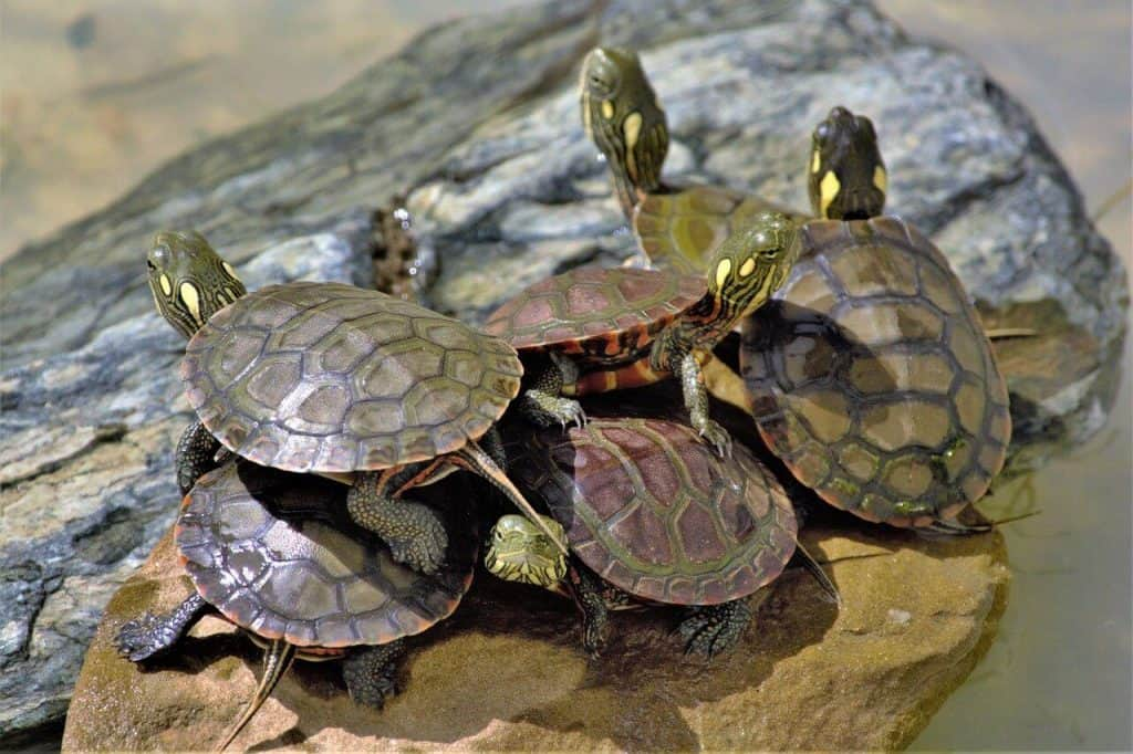 why do turtles stack